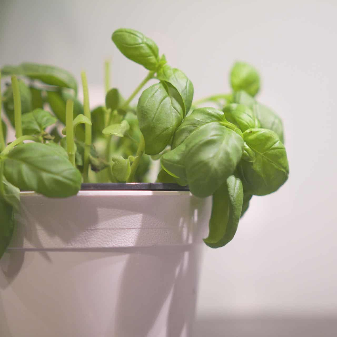 Como cultivar manjericão em casa #hortinha